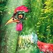 รูปนิทานชาดก อกาลราวิชาดก  ชาดกว่าด้วยไก่ขันไม่ถูกเวลา